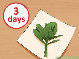 Beginners How To Grow Just by How To Grow Kalanchoe 15 Steps With Pictures Wikihow