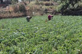 strawberry fields in panchgani u2013 cox u0026 kings blog