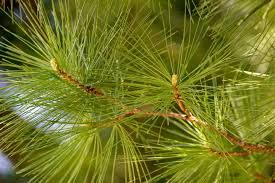 closeup of pine tree needles michael beck flickr