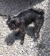 affenpinscher ottawa not available yet this little nugget ottawa dog rescue