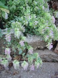 104 best garden herbs images on perennials allium