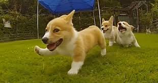 Corgi Puppy Meme - corgi puppies running in slow mo will make your day bored panda