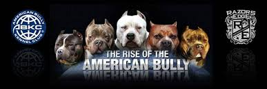 american pitbull terrier for sale in ohio pitbull puppies for sale blue pitbulls puppies los angeles