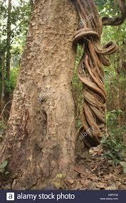 jungle vegetation plants tropical log climbing plant costa rica