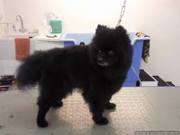 Dog Grooming Styles Haircuts Collars And Cuts Dog Grooming Dog Grooming In Edinburgh Scotland