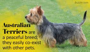 australian shepherd terrier brilliant information about the jack russell terrier mix breeds