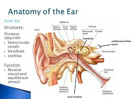 Inner Ear Anatomy And Physiology Ear Structure U0026 Function Ppt Video Online Download
