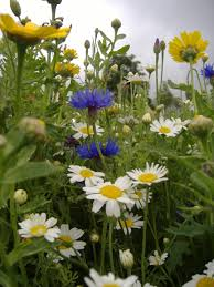 native uk plants valuing wild plants building a future for wild plants