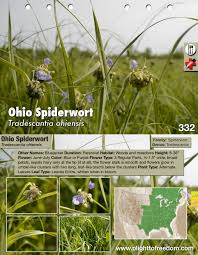 Flowering Plants Native To Ohio Ohio Spiderwort Edible U0026 Medicinal Plight To Freedom