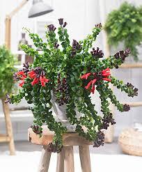 buy house plants now lipstick hanging plant u0027rasta u0027 bakker com