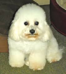 bichon frise 17 years old 11 best bichons images on pinterest bichons crystal and bichon