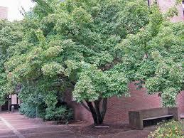 12 great patio trees hgtv