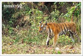 wildlife lord of the jungle the tiger