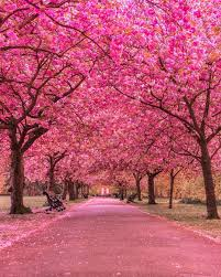 cherry blossom tree facts beautiful cherry blossom at greenwich park london amazing nature