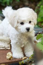 bichon frise puppy 8 weeks brichon frisé puppy by joey progeny katherine dillon u0026 lisa des