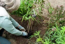 Climbing Plants For North Facing Walls - wall side borders rhs gardening