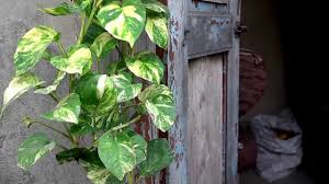 How To Arrange Indoor Plants by How To Grow Money Plant Urdu Hindi Youtube