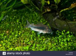 freshwater fish bronze cory catfish corydoras aeneus a tropical freshwater fish