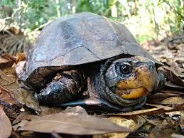 Ringed Map Turtle Species U2014 The Big Turtle Year