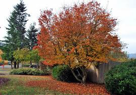 5 trees that add color and curb appeal in autumn lifestyle