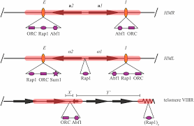 the nuts and bolts of transcriptionally silent chromatin in