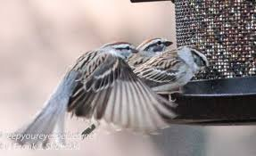 feeding frenzy at the feeders keep your eyes peeled
