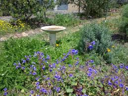native plants for bees native bee info uc berkeley urban bee lab