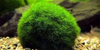 marimo moss ball the aquarium guide