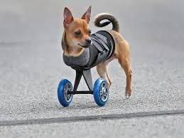 3 legged boxer dog this two legged dog u0027s wheels are cooler than yours youtube