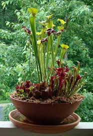 24 best bog containers images on pinterest pitcher plant
