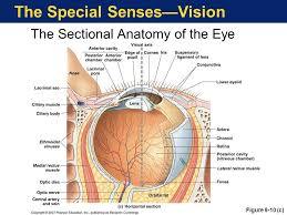 Picture Of Eye Anatomy Eye Anatomy Eyes Pinterest Eye Anatomy And Anatomy
