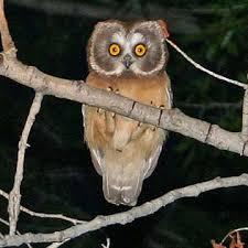 Scientific Name Of Barn Owl Common Name Northern Saw Whet Owl Scientific Name Aegolius