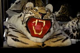 Home Interior Tiger Picture Tigers And Wild Cats For Sale In Myanmar A Tale Of Two Border