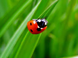 ladybug wallpaper and background animals town