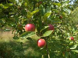 Family Garden Chinese Food Free Images Apple Tree Branch Fruit Fall Flower Orchard