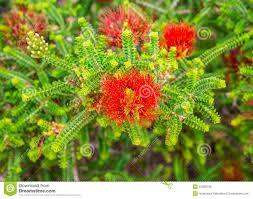 kings park native plant sale sand bottlebrush red flower in kings park and botanical gardens