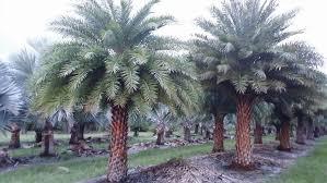 sylvester date palm tree silver date palm palms palm