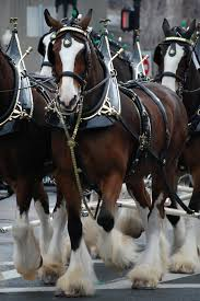 West Virginia how far can a horse travel in a day images Budweiser clydesdales wikipedia jpg