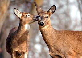 minnesota dnr expands ban on deer feeding as disease precaution