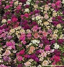 alyssum flowers gulf winds honey scented alyssum renee s garden seeds