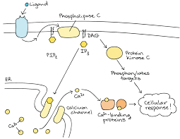 example of a signal transduction pathway video khan academy