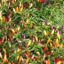 index of pictures flowerseeds thumbnail capsicum