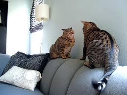 gatti divani copertura divano cat friendly sofa