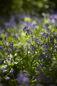 gardening 101 english bluebells gardenista