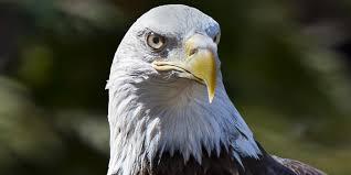 bald eagle smithsonian u0027s national zoo