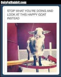 Totes Magotes Meme - funny lol stopwhatyouaredoing lookathappy goat humor picture meme