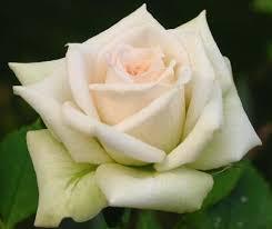 white roses for sale image result for http gardeningroses org images white