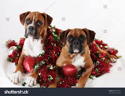 two boxer puppies posing christmas decorations stock photo