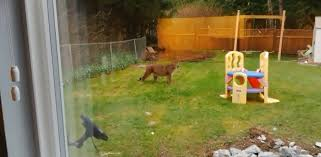 brave cat stares down cougar in port hardy backyard
