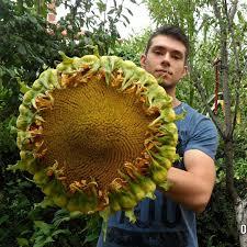popular edible ornamentals buy cheap edible ornamentals lots from